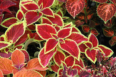 Photograph - Coleus Mix by Rob Huntley