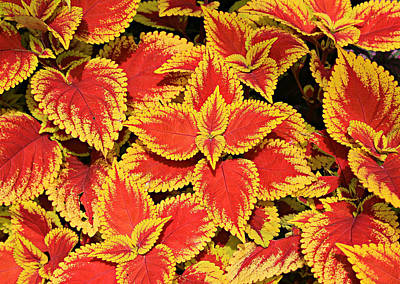 Coleus Art Print by Stephen Stookey