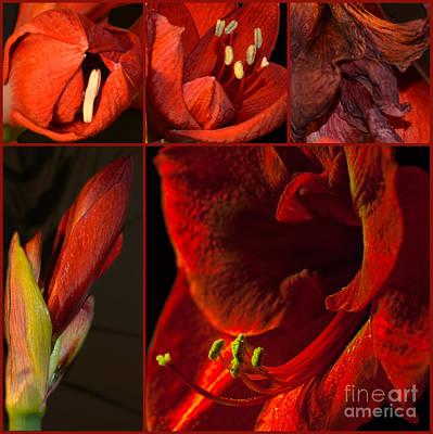 Collage - Amaryllis - Red 01- Elena Yakubovich Art Print by Elena Yakubovich