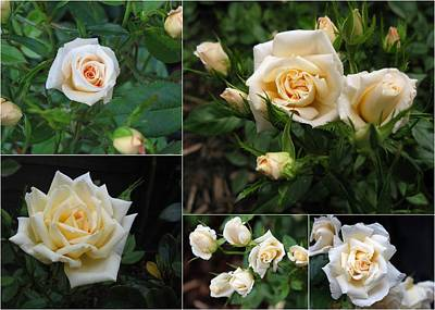 Photograph - Collage Cream Pot Rose by Helene U Taylor