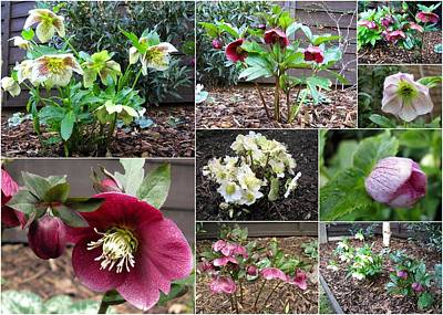Photograph - Collage Hellebores by Helene U Taylor