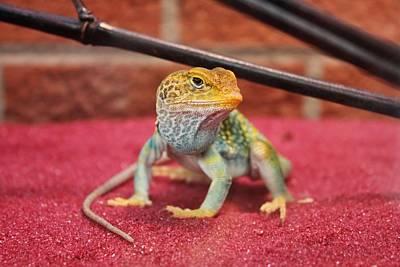 Photograph - Collard Lizard by Diane Alexander