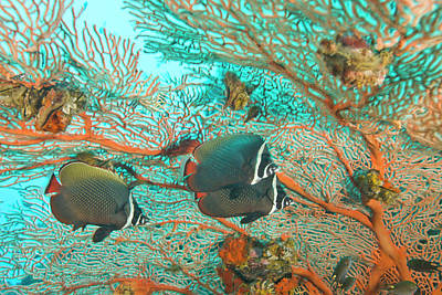 Collare Butterflyfish (chaetodon Collare Print by Stuart Westmorland