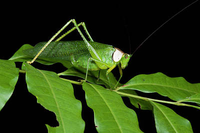 Katydid Photograph - Collared Katydid (euceraia by Pete Oxford