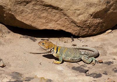 Collared Lizard Photograph - Collared Lizard by Betty Depee