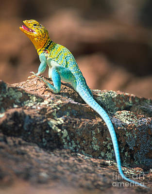 Reptiles Royalty-Free and Rights-Managed Images - Collared Lizard by Inge Johnsson