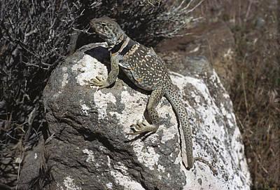 Collared Lizard Photograph - Collared Lizard Sunning Mojave Desert by Larry Minden