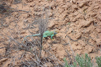Collared Lizard Art Print by Susan Woodward