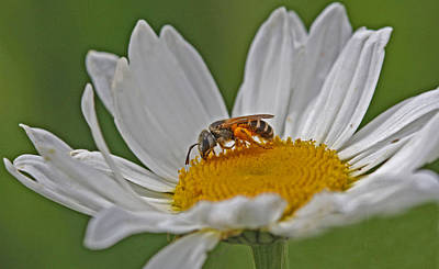 Bee Photograph - Collector by Gary Wing