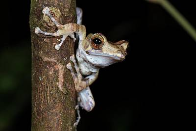 Frog Photograph - Collett's Tree Frog At Night by Scubazoo