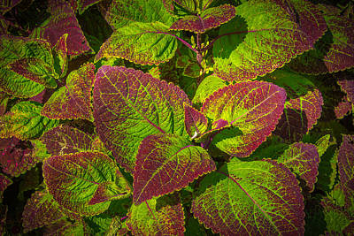 Photograph - Coleus by Richard Goldman