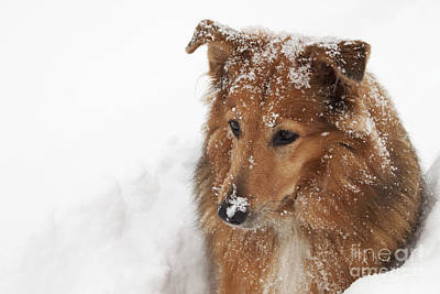 Collie In The Snow Art Print