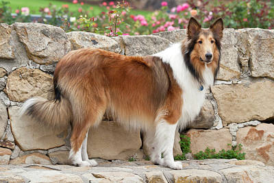 Collie Standing On A Sandstone Bench Art Print