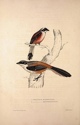 Asian Artist Drawing - Collurio Hardwickii, Collurio Erythronotus. Birds by Quint Lox