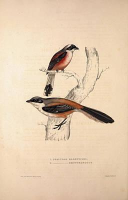 Collurio Hardwickii, Collurio Erythronotus. Birds Art Print