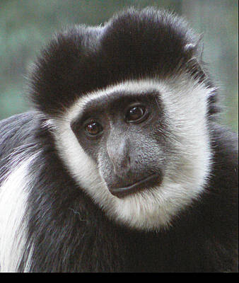 Photograph - Colobus Monkey 2 by Margaret Saheed