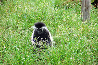Photograph - Colobus Monkey by Aimee L Maher Photography and Art Visit ALMGallerydotcom