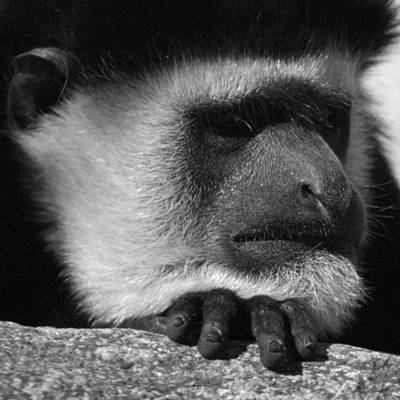 Photograph - Colobus Monkey by Ernie Echols