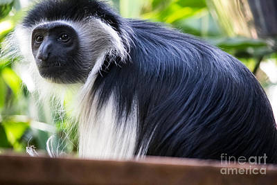 Photograph - Colobus Monkey by Suzanne Luft