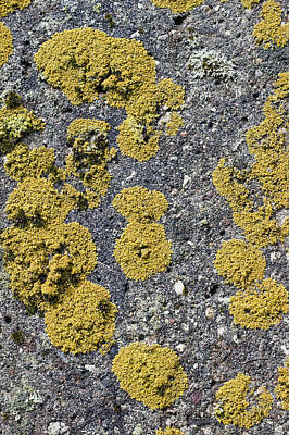 Comedian Drawings - Colonies of a yellow lichen by Aleksandr Volkov