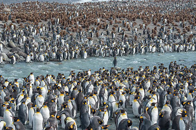 King Penguin Photograph - Colony Of King Penguins, Aptenodytes by Tom Murphy