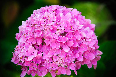 Photograph - Color Of The Year 2014 Pink Hydrangea by Connie Cooper-Edwards