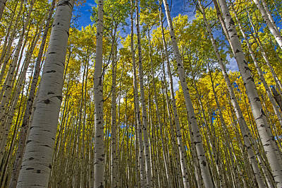 Photograph - Colorado Aspen Tree Forest And Blue Skies by Willie Harper