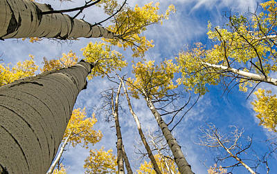 Photograph - Colorado Aspen Trees And Blue Skies by Willie Harper