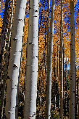 Photograph - Colorado Aspens by Trent Mallett