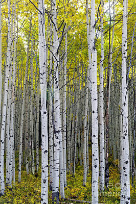 Photograph - Colorado Aspens by Willie Harper