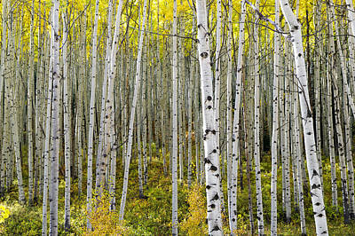 Photograph - Colorado Autumn Aspens by Willie Harper