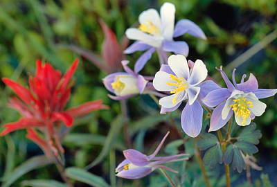 Photograph - Colorado Blue Columbine by Eric Glaser