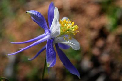 Photograph - Colorado Blue Columbine - State Flower by Marilyn Burton