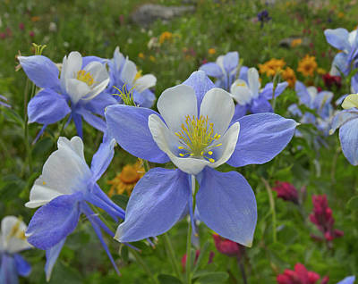 Colorado Blue Columbines, Colorado, Usa Art Print