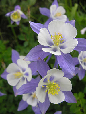 Colorado Blue Columbines Art Print