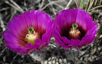 Photograph - Colorado Cactus by Susan D Moody