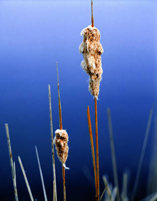 Colorado Cattails Art Print