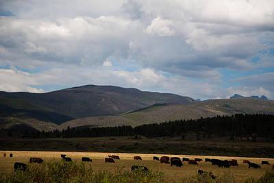 Art Print featuring the photograph Colorado Cattle Graze by Shirley Heier