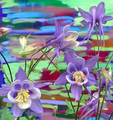 Colorado Columbine Art Print by Brenda Pressnall