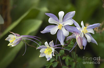 Photograph - Colorado Columbine by Craig Lovell
