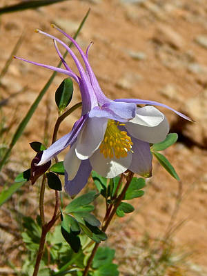 Photograph - Colorado Columbine 2 by Dan Miller