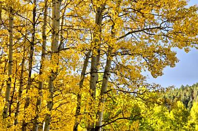 Autumn Foliage Mixed Media - Colorado Fall Aspens 2 by Angelina Vick