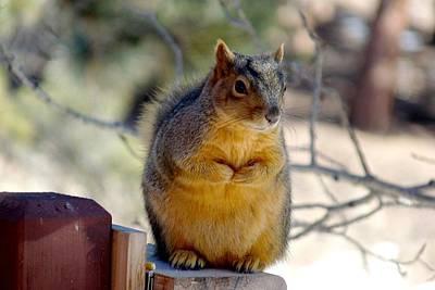 Photograph - Colorado Fox Squirrel by Marilyn Burton