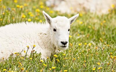 Rocky Mountain Goat Photograph - Colorado Kid by Scott Pellegrin