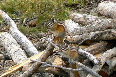 Photograph - Colorado Least Chipmunks by Marilyn Burton