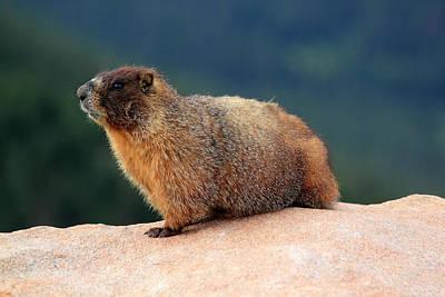 Photograph - Colorado Marmot by Shane Bechler