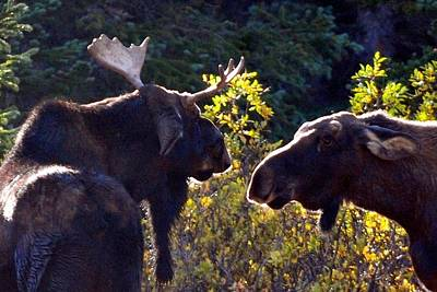 Photograph - Colorado Moose by Marilyn Burton