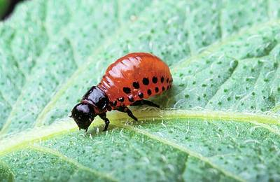 Colorado Wildlife Wall Art - Photograph - Colorado Potato Beetle Larva by Peggy Greb/us Department Of Agriculture/science Photo Library