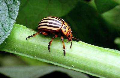 Colorado Wildlife Wall Art - Photograph - Colorado Potato Beetle by Scott Bauer/us Department Of Agriculture/science Photo Library