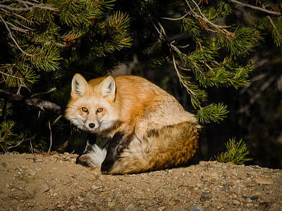 Colorado Red Fox Art Print